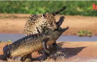 Jaguar Attacks A Caiman Crocodile