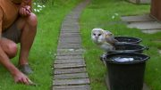 Cute Barn Owl Learns How To Fly