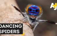 Seven New Species Of Peacock Spiders