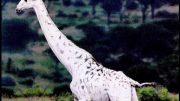 White Giraffes: Nature Documentary