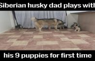 Husky Dad Plays With His 9 Pups For The First Time
