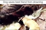 Dogs Saves His Best Friend From Drowning