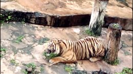 When A Tiger Goes Vegetarian