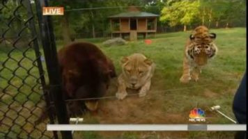 Lion, Tiger And Bear Are Best Friends