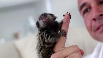 Tiny Monkeys – As Big As A Finger