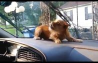 Funny Dogs Angry On Windshield Wipers