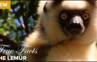 The True Facts About Lemur