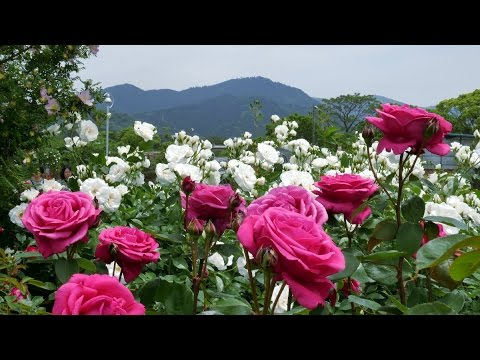 This Japanese Rose Garden Will Fill You With Happiness