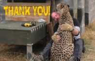 African Big Cat Shows Its Affection To A Man