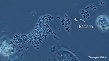 How White Cells Eat Bad Bacteria In Our Body