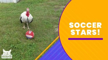 Funny Animals Who Love Playing Soccer
