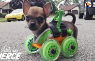 This Disabled Tiny Puppy Is Happy To Walk On Wheels