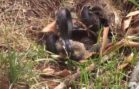 Momma Rabbit Saves Her Babies From A Snake