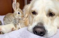 Golden Retriever Dog Adopts Adorable Baby Bunnies