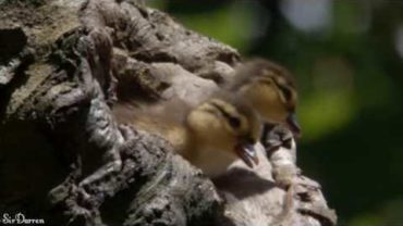 Adorable Ducklings Jumping Down From The Nest