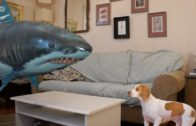 Funny Dog Playing With Shark Balloon