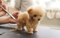 Adorable Puppy Getting Groomed For The First Time