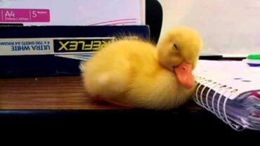 This Sleepy Baby Duck Can't Stay Awake