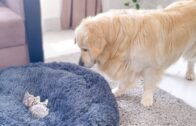Golden Retriever Shocked By A Kitten Occupying His Bed